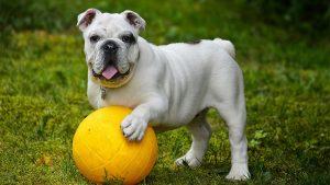 englishbulldog 300x169 - englishbulldog