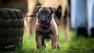 puppy brown 300x169 - puppy-brown